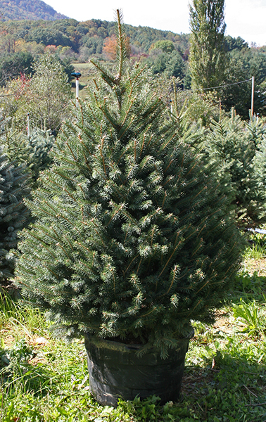 Colorado Spruce (Potted)